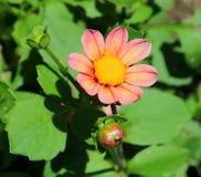 Dália cor-de-rosa na flor completa, na luz solar brilhante, nos botões e nas folhas Imagem de Stock