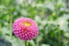 Dália cor-de-rosa na flor em um jardim Fotos de Stock Royalty Free