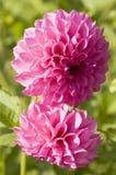 Dália dois cor-de-rosa Foto de Stock
