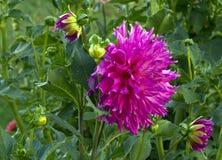 Dália em várias fases da flor imagem de stock