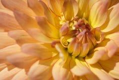 Dália Flama-Colorida com pétala ondulada foto de stock royalty free