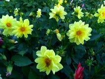 Dália - flores delicado-amarelas com zangão Fotos de Stock
