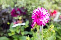A dália floresce no jardim ao longo de um trajeto da grama fotografia de stock