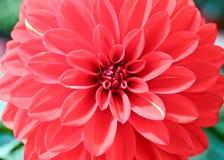 Dália Gaysorn vermelho e flores bonitas Fotografia de Stock Royalty Free