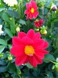 Dália - grande escarlate da flor Foto de Stock