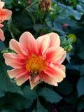 Dália - grande flor com zangão Imagens de Stock Royalty Free