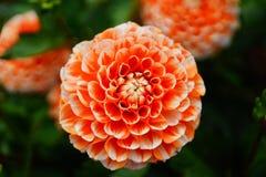 Dália na flor imagens de stock