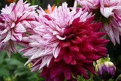 Dália roxa bicolor incomum Imagens de Stock