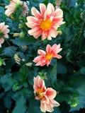 Dália - três flores cor-de-rosa com zangão Imagens de Stock Royalty Free