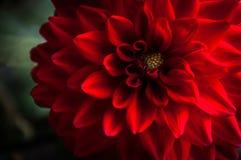 Dália vermelha Imagem de Stock