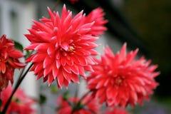 Dália vermelha bonita da flor do outono fotografia de stock royalty free