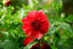 A dália vermelha bonita no fundo das folhas verdes fecha-se acima Fotos de Stock