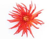 Dália vermelha de florescência Foto de Stock Royalty Free