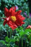 Dália vermelha de florescência no fundo verde Fotos de Stock Royalty Free