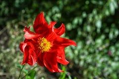 Dália vermelha de florescência no fundo verde Foto de Stock