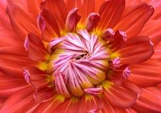 Dália vermelha do close-up na flor Fotografia de Stock Royalty Free