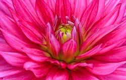 Dália vermelha do close-up na flor Imagem de Stock Royalty Free