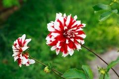 Dália vermelha e branca Imagem de Stock Royalty Free