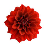 Dália vermelha isolada no fundo branco Imagem de Stock Royalty Free
