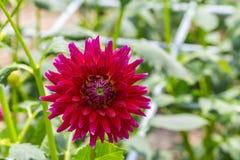 Dália vermelha na flor Imagens de Stock Royalty Free