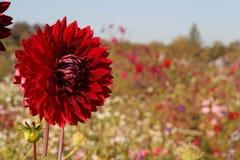 Dália vermelha no campo de flor Fotos de Stock
