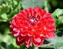 Dália vermelha que floresce no jardim ensolarado Imagens de Stock Royalty Free
