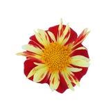 dália Vermelho-amarela isolada no fundo branco Foto de Stock