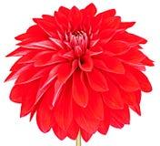 A dália, vermelho, coloriu a flor com a haste no fundo branco Imagem de Stock Royalty Free