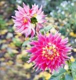 Dália vermelho-cor-de-rosa brilhante da flor no jardim do outono Fotografia de Stock Royalty Free