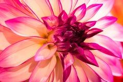 Dália vibrante da cor do rosa quente fotografia de stock