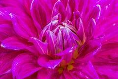 Dália violeta do close-up na flor Fotos de Stock Royalty Free