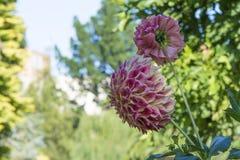 Dálias cor-de-rosa e de creme que crescem em um jardim Imagem de Stock Royalty Free