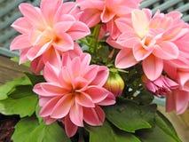 Dálias cor-de-rosa em pasta da primavera na flor imagem de stock