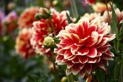 Dálias da flor com pétalas heterogêneos foto de stock
