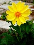 Dálias da flor de Ellow no fundo de um trajeto pavimentado imagens de stock royalty free