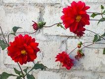 Dálias vermelhas contra uma parede do jardim imagens de stock