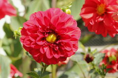 Dálias vermelhas no jardim Imagem de Stock