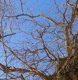 dąb Drzewny bagażnik, dolny widok Natura w zima sezonie przeciwko niebieskiemu niebo Gałąź i bagażnik tworzą abstrakta wzór obraz stock