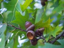 Dąb gałąź z zieleni acorns na słonecznym dniu i liśćmi zdjęcia royalty free