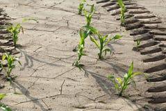 Däckspår på majsfält Arkivfoton