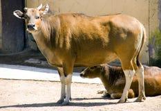 Däggdjur för artiodactyl för tjurbanteng idisslande Bovid Arkivfoton