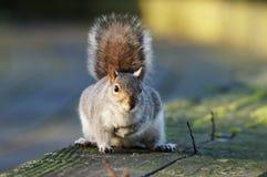 DÄGGDJUR - Gray Squirrel royaltyfria foton