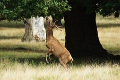 DÄGGDJUR - Röda hjortar arkivfoton