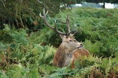 DÄGGDJUR - Röda hjortar arkivfoto