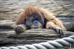 Däggdjuret för ull för brunt för apan för orangutangprimathumanoiden bebor Sumatra Kalimantan massivt starkt Arkivfoton