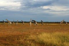 däggdjurs- reticulated mest högväxt världar för giraff Royaltyfria Bilder