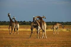 däggdjurs- reticulated mest högväxt världar för giraff Arkivfoton
