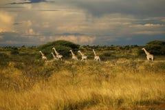 däggdjurs- reticulated mest högväxt världar för giraff Arkivbilder