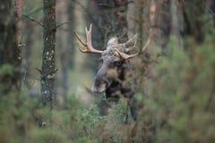 Däggdjurs- - tjurälgAlces arkivbilder