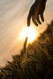 Dämmern Sie über einem Feld des Weizens und des Handschattenbildes Stockfotografie